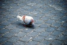 Free Beautiful Pigeon Royalty Free Stock Images - 4621839