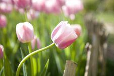 Free Tulips Stock Photo - 4623070
