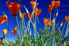 Free California Poppy And Blue Sky Stock Photos - 4623433