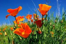 Free California Poppy And Blue Sky Royalty Free Stock Photos - 4623448