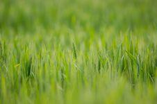 Free Wheat Field Stock Photos - 4623483