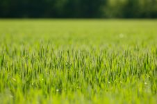 Free Wheat Field Royalty Free Stock Photography - 4623487
