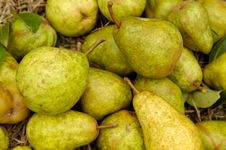Free Organic Pears Stock Photo - 4623520