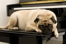 Free Pug Hanging Out Royalty Free Stock Photos - 4623618