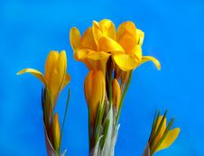 Free Crocus Royalty Free Stock Images - 4625439