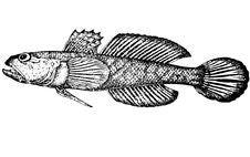 Gobius Gumnotrachelus (latin). Illustration. Stock Photos