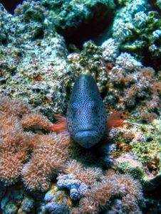 Free Freckled Hawkfish Royalty Free Stock Images - 4627479