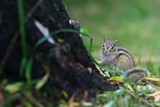 Free Squirrel Royalty Free Stock Image - 4627886