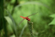 Free Red Dragonfly Royalty Free Stock Image - 4627906