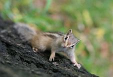 Free Squirrel Royalty Free Stock Images - 4627949
