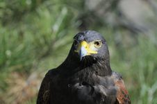 Free Harris Hawk Watching Royalty Free Stock Photography - 4628677