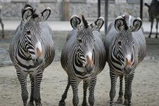 Free Three Zebras Royalty Free Stock Image - 4629616