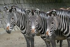 Free Zebras Stock Image - 4629661