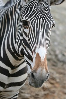 Free Zebra Portrait Stock Images - 4629674
