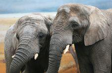 Two Elephants Stock Image