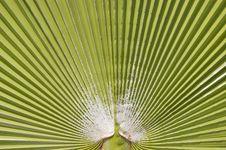 Palm Leaf Background  &x28;Washingtonia Filifera&x29; Royalty Free Stock Photography