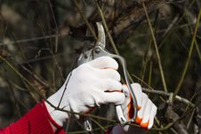 Free Pruning In Bright Gloves Stock Images - 46231094