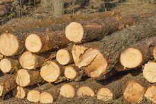 Cut Birch Trunk; Felled Tree Stock Image