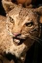 Free Texas Bobcat Royalty Free Stock Photography - 4633057