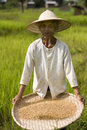 Free Rice Harvest Royalty Free Stock Images - 4636739