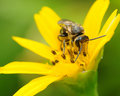 Free Bee On Yellow Flower Royalty Free Stock Image - 4638016