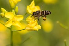 Free Bee On Flower Royalty Free Stock Image - 4630086