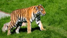 Free Tiger On The Move Stock Image - 4630491