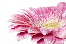 Free Gerber Daisy Royalty Free Stock Image - 4630506