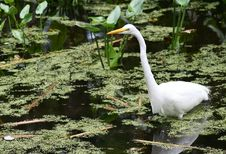 Free White Heron In Swamp Stock Photography - 4631432
