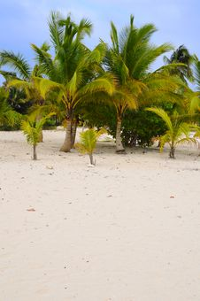 Free Coconut Palm Trees On The Beach Stock Photos - 4631513