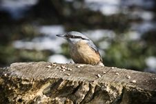 Free Nuthatch - Sitta Europaea Royalty Free Stock Photo - 4631825