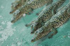 Free Baby Alligators Stock Photos - 4631833