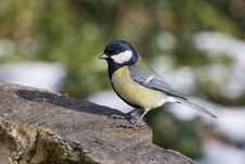 Free Great Tit - Parus Major Stock Image - 4631841
