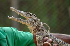 Taming Crocodile Royalty Free Stock Photo