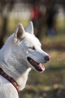 Free White Husky Royalty Free Stock Photos - 4632248