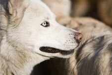 Free White Husky Stock Images - 4632254