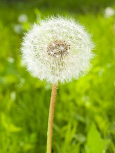 Dandelion Head On The Spring Meadow