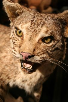 Free Texas Bobcat Royalty Free Stock Photography - 4633057