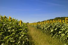 Free Sunflower Field Stock Images - 4633354