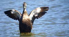 Free Wild Duck Stock Image - 4633771