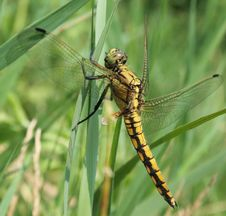 Free Dragonfly Royalty Free Stock Image - 4636456