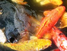 Free Koi Fish Royalty Free Stock Photography - 4636487