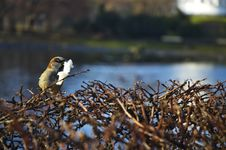 Free Sparrow Eating Royalty Free Stock Images - 4636559