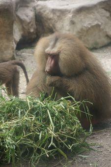 Free Eating Monkey Stock Photo - 4636870