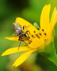 Free Bee On Flower Stock Photos - 4637993