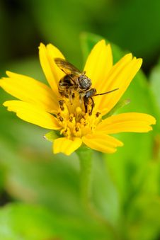 Free Bee On Yellow Flower Stock Photo - 4638080