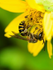 Free Bee Collecting Nectar From Flower Royalty Free Stock Images - 4638449