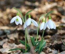 Free Crocus Stock Photography - 4639172