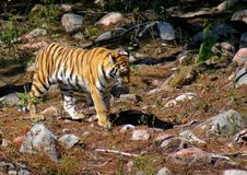 Tiger On The Move Royalty Free Stock Photos