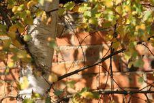 Free Birch Next To The Wall Stock Photos - 4639903